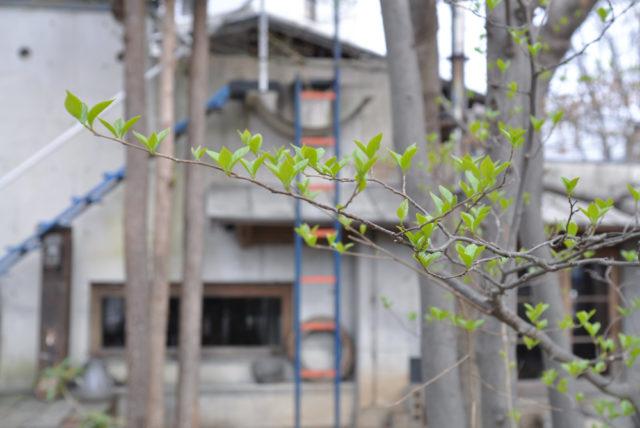 エゴの木の若葉の画像