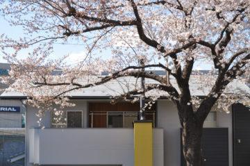 思い出の桜を残すの画像