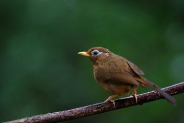 【ごめんね。「がびちょう:画眉鳥」】我が家の庭でキレイに囀っている鳥は・・・の画像