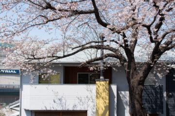 庭先の桜(住宅の完成から6年目)入間市の画像