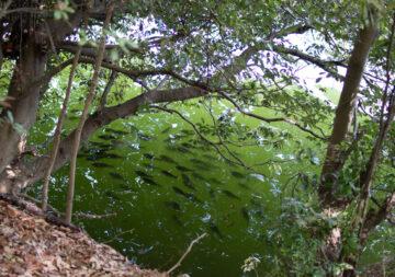 宮沢湖 尺越えの(たぶん)ヘラブナも群れの画像